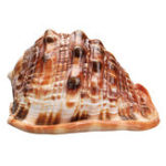 New Natural Bull's mouth Helmet Conch Shell Coral Sea Snail FishTank Adorn Ornament Home Decorations