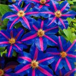 New Egrow 100 Pcs/Pack Climbing Clematis Bonsai Seeds Perennial Courtyard Bonsai Flower Plants for Home Garden