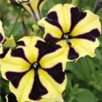 New Egrow 100Pcs/Pack Petunia Bonsai Seeds Four Seasons Can Be Planted Perennial Flowers Planting Indoor Outdoor Bonsai Potted Plant