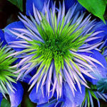 New Egrow 100 Pcs/Pack Clematis Plants Flower Seeds Clematis Vines Bonsai Flower Perennial Flowers Climbing Clematis Plants