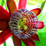 New Egrow 100Pcs/Pack Passiflora Seeds Flower Flores Vine Fruit Passiflora Bonsai Plant Plantas DIY Home Garden