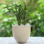 New Egrow 30Pcs/Pack Rare Silver Heart Lucky Bamboo Seeds Bonsai Absorb Dust Tree Plant Anti Radiation Dracaena Home Garden