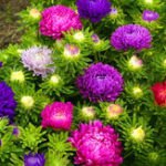 New Egrow 30Pcs/Pack Multi-color Aster Bonsai Seeds Chinese Chrysanthemum Flower Garden for Home Gaden Plants