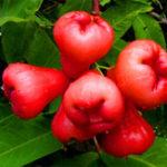 New Egrow 100 PCS/Pack Jambu Air Seeds Rose Wax Apple Bonsai Rare Fruit Flores for Home Garden Planting