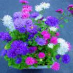 New Egrow 200Pcs/Pack Chinese Aster Bonsai Seeds Summer Big Flowers Chinese Chrysanthemum for Home Gaden Plant