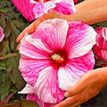 New Egrow 50 Pcs/Pack Giant Hibiscus Seeds Flower Flores Beautiful Flower Bonsai Plant DIY Home Garden