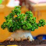 New Egrow 50Pcs/Pack Banyan Seeds Chinese Rare Ficus Microcarpa Tree Bonsai Ginseng Banyan Garden Tree Outdoor Planters
