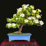 New Egrow 100Pcs/Pack Gardenia Seeds DIY Home Garden Potted Bonsai Amazing Smell & Beautiful Flowers Plant for Room