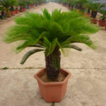 New Egrow 1PC/Pack Cycas Seeds Cycas Plant Bonsai Potted Flower Flores For DIY Home Garden Household
