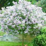 New Egrow 50PCS/Pack White Japanese Lilac Seeds White Japanese Lilac Bonsai Extremely Fragrant Clove Flower Bonsai For Home & Garden