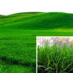 New Egrow 1000 PCS/Pack Turfgrass Seeds Green Source Turfgrass Grass Plant Evergreen Lawn Plantas Flower Flores Home Garden Bonsai