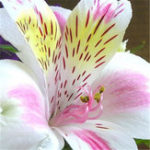 New Egrow 100PCS/Pack Lily Seeds Peruvian Lily Alstroemeria Bonsai Plants Beautiful Lily Flower For Home & Garden Decoration