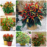 New Egrow 100Pcs/Pack Pepper Seeds Hot Chilli Pepper Capsicum Vegetable Bonsai Plants for Home And Garden