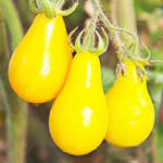 New Egrow 50Pcs/Pack Yellow Tomato Seeds Rare Tomato Plants Organic Vegetable & Fruit Potted Planting For Home Garden