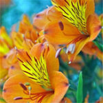 New Egrow 100PCS/Pack Lily Seeds Rare Peruvian Lily Alstroemeria Bonsai Plants Mix-Color Beautiful Lilies Flower