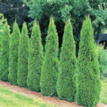 New Egrow 50PCS/Pack Cypress Tree Seeds Perennial Courtyard Conifer Bonsai Natural Growth For DIY Home & Garden Planting