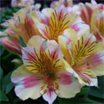 New Egrow 100PCS/Pack Lily Seeds Rare Peruvian Lily Alstroemeria Bonsai Plants Mix-Color Lilies Flower For Home & Garden Decoration