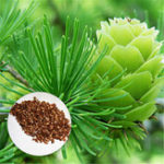 New Egrow 50PCS/Pack Pine Seeds Bonsai Larch Pine Tree Plants For Home Garden Potted Perennial Larix Tree Plant In Flower Pot Fast Growing Tree