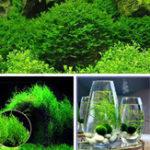New Egrow 200PCS/Pack Moss Live Aquatic Plants Seeds Aquarium Water Grass Bonsai Flower Landscape Decoration Ornament