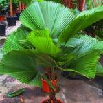New Egrow 20Pcs/Pack Fan Palm Tree Seeds Ornamental Livistona Chinensis Plants Tall Evergreen Palm Tree