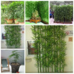 New Egrow 60Pcs/Pack Chinese Mini Moso Bamboo Seeds Phyllostachys Heterocycla Courtyard Moso Bamboo for DIY Home Garden Plant