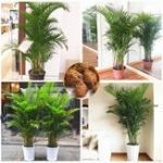 New Egrow 5Pcs/Pack Chrysalidocarpus Lutescens Plant Seeds Home Decoration Areca Palm Tree Indoor Butterfly Palm Bonsai