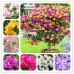 New Egrow 100Pcs/Pack Colorful Bougainvillea Flower Seeds Spectabilis Willd Plants Perennial Flower Garden Bonsai Potted Plant