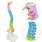 New 45cm Colorful Vertebral Column Human Spine Anatomical Model Skeleton Medical Science Education