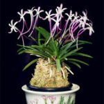 New Egrow 100Pcs/Pack Neofinetia Falcata Orchid Seeds Bonsai Flower Plants for Home Garden