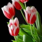 New Egrow 50Pcs/Pack Colorful Tulip Seeds Garden Perennial Potted Tulip Flower Plants