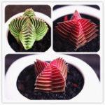 New Egrow 100Pcs/Pack Succulent Lithops Plants Seeds Echeveria Succulents Flower Indoor Plant For Home Grden