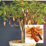 New Egrow 10Pcs/Pack Tamarind Tree Seeds Fruit Vegetable Tree Bonsai Home Garden Decoration DIY Plants