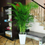 New Egrow 5Pcs/Pack Indoor Palm Tree Seeds Chrysalidocarpus Lutescens Areca Plants Bonsai Home Decor Air Plants