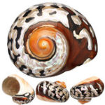 New 6-9.5cm Natural African Turban Sea Shell Coral Conch Snail Home Fish Tank Decorations