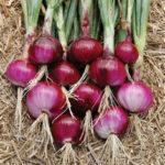 New              Egrow 100Pcs/Pack Onion Seeds Bonsai Onion Sweet Spanish Plants Vegetables Non-GMO Onion For Garden Bonsai Plant Easy to Grow