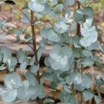 New              Egrow 30 Pcs/Pack Eucalyptus Seeds Silver Dollar Tree Eucalyptus Cinerea