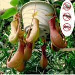 New              Egrow 20Pcs/Pack Rare Nepenthes Seeds Balcony Garden Potted Plants Seeds Carnivorous Plants Seeds